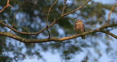 spotted-owlet-nadia-AB 1922