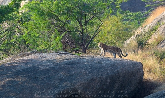 indian-leopard-rajasthan-AB 0302