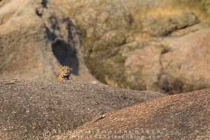 indian-leopard-rajasthan-AB 0215