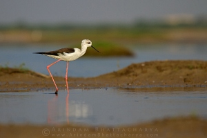 black-winged-stilt-AB 2925