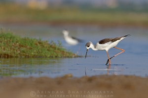 black-winged-stilt-AB 2905