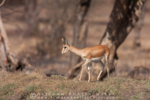 blackbuck-deer-ranthambore-AB 3993