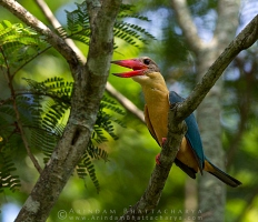 Stork-Billed-Kingfisher-AB 8737