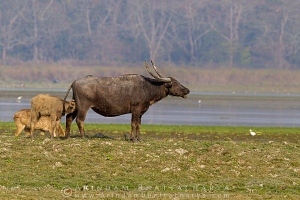 asian-water-buffalo-kaziranga-AB 0424