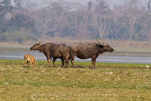 asian-water-buffalo-kaziranga-AB 0417