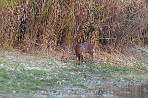 indian-hog-deer-kaziranga-AB 1796