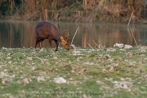 indian-hog-deer-kaziranga-AB 1772