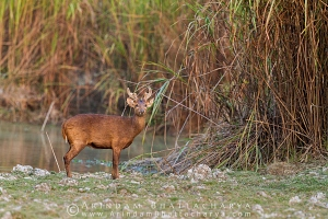 indian-hog-deer-kaziranga-AB 1791