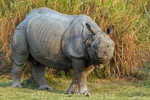 one-horned-rhino-kaziranga-AB 1669