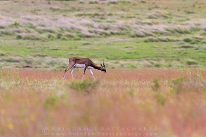 blackbuck-solapur-AB 0197