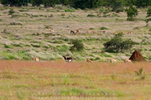 blackbuck-solapur-AB 0245