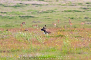 blackbuck-solapur-AB 0143