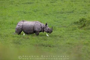 one-horned-rhino-gorumara-AB 1839