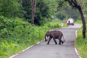 Asian elephant or Asiatic elephant or Elephas maximus crossing road at Gorumara National park West Bengal India
