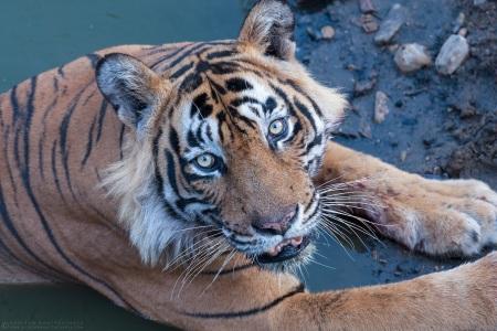 Tiger T24, Ranthambore   June 2014