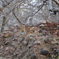 Camouflaging Leopard of Ranthambhore Fort