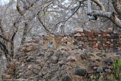 Indian-leopard-Panthera-pardus-fusca-MG_1220 at Ranthambhore National Park, Rajasthan