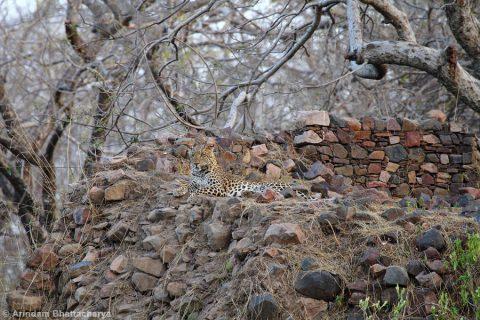 Indian-leopard-Panthera-pardus-fusca-MG_1220 at Ranthambhore National Park, Rajasthan