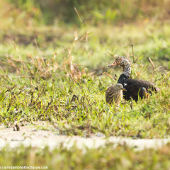 Critically endangered White-Winged Wood duck in Nameri Tiger Reserve