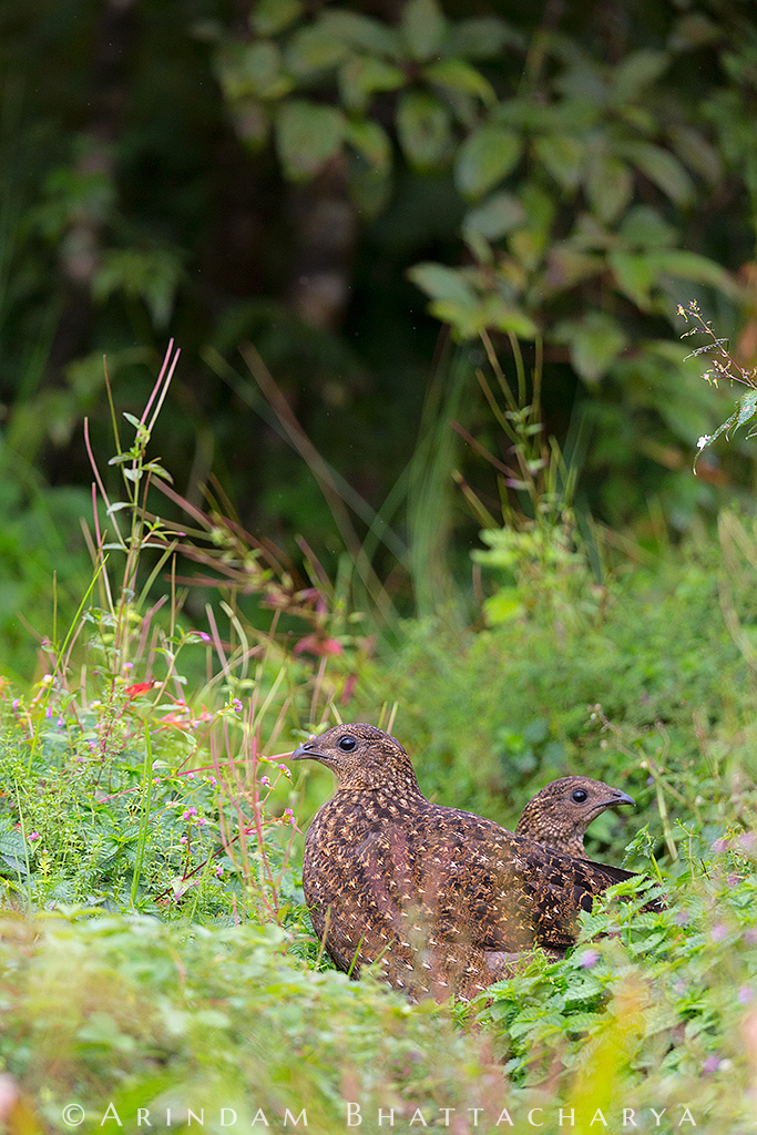 Satyr Tragopan Female at Zuluk East Sikkim India