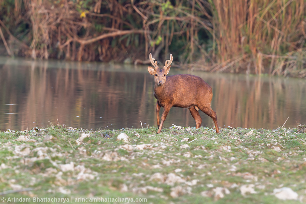 Endangered Indian hog deer or Hyelaphus porcinus at Kaziranga National Park