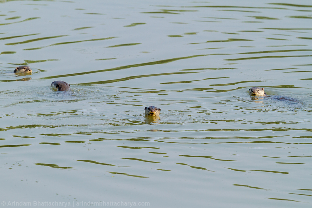 River Otters at Kaziranga National Park