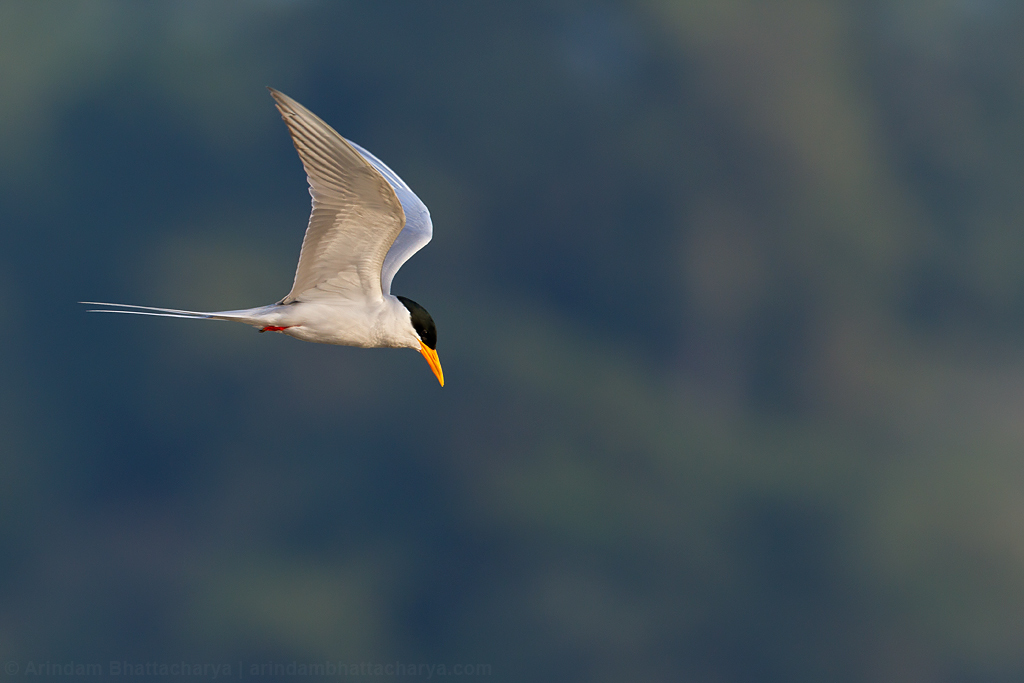 Near Threatened Indian river tern at Satkosia gorge, Odhisa