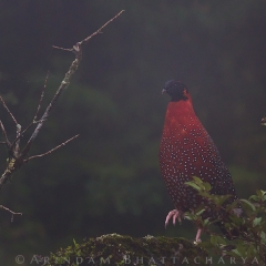 First ever Satyr Tragopan