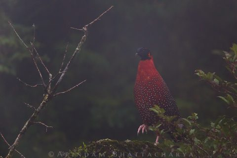 Satyr Tragopan at East Sikkim near Zuluk by Arindam Bhattacharya photography