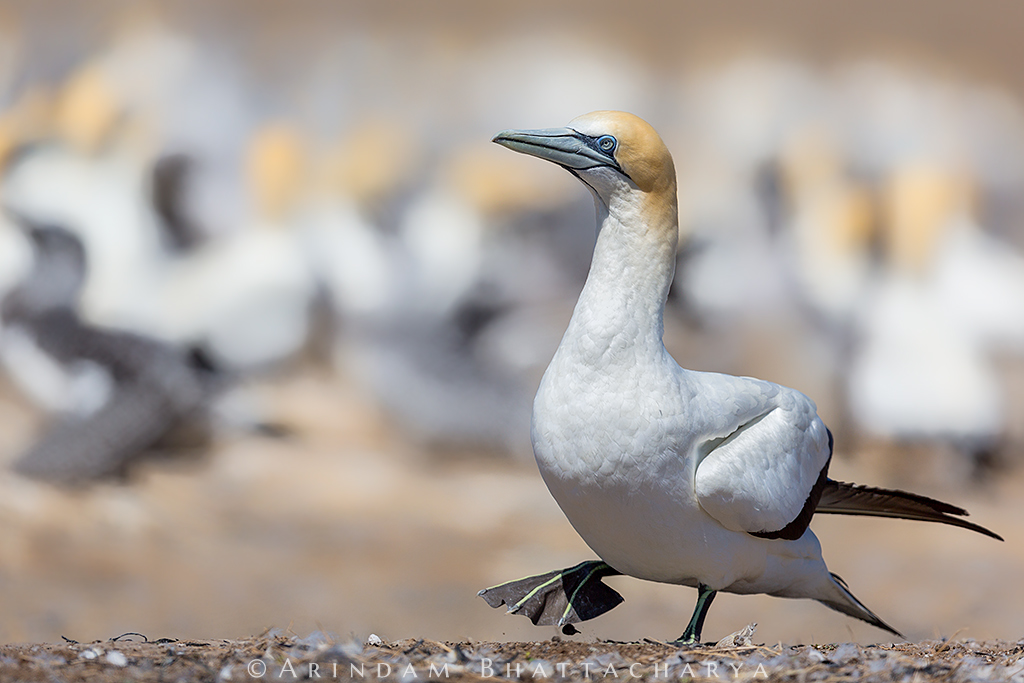 Australasian Gannet found only in coastal region on New Zealand, Australia and Tasmania. Most of the time they breed with the same partner over the consecutive seasons.