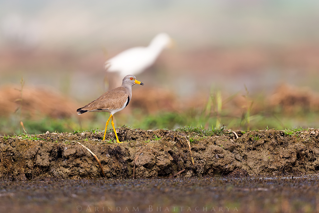 Grey headed Lapwing in Purbasthali Wetlands, West Bengal