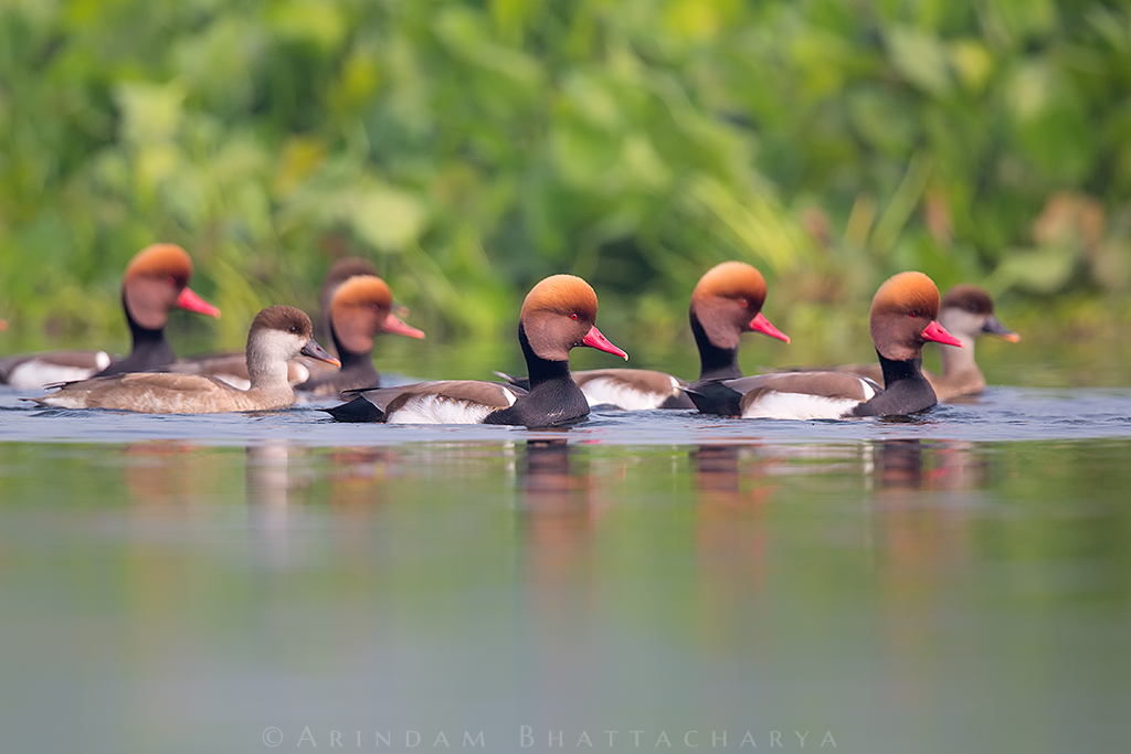 Red Crested Pochard at Purbasthali marshland, West Bengal. They are partially winter migrant from southern Europe and central Asia.