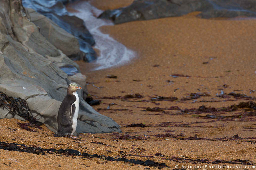 Endangered Yellow Eyed Penguin or Megadyptes antipodes at New Zealand