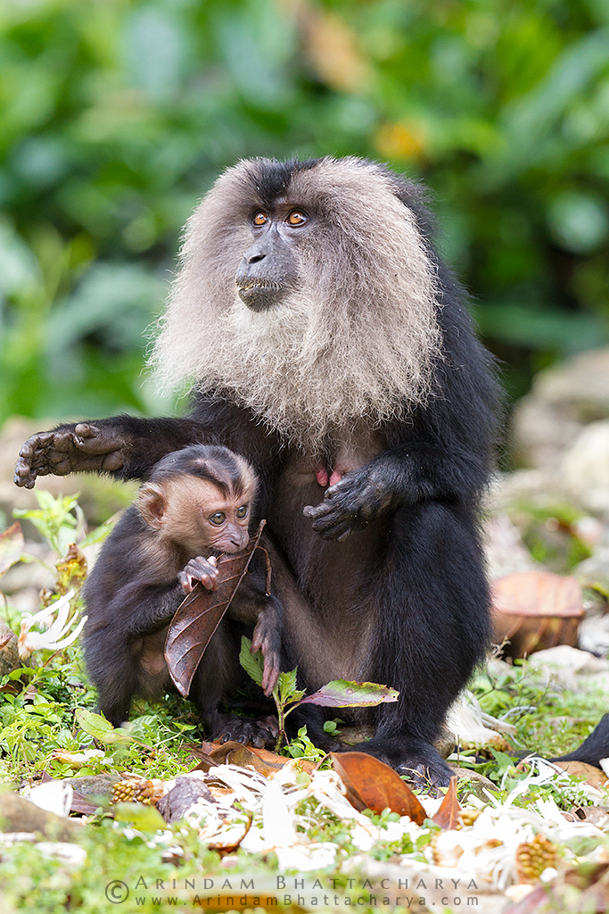 Lion Tailed Macaque and her baby eating jackfruit