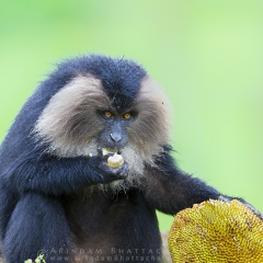 The jackfruit eater – Lion-Tailed Macaque