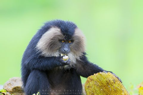 Lion Tailed Macaque eating jackfruit