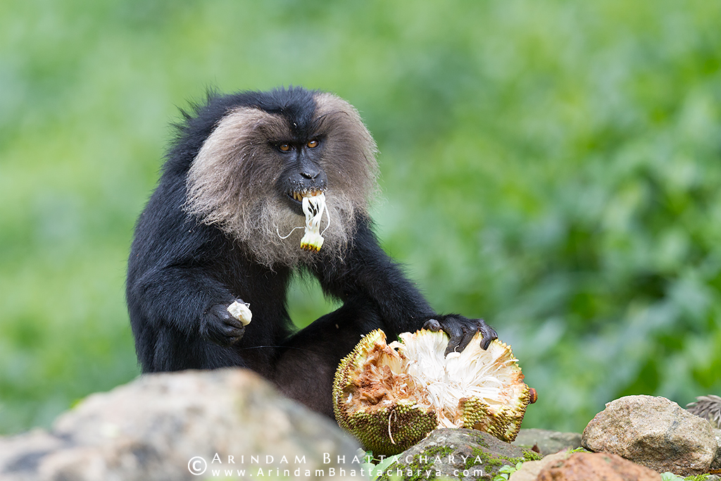 Lion Tailed Macaque eating jackfruit by Arindam Bhattacharya