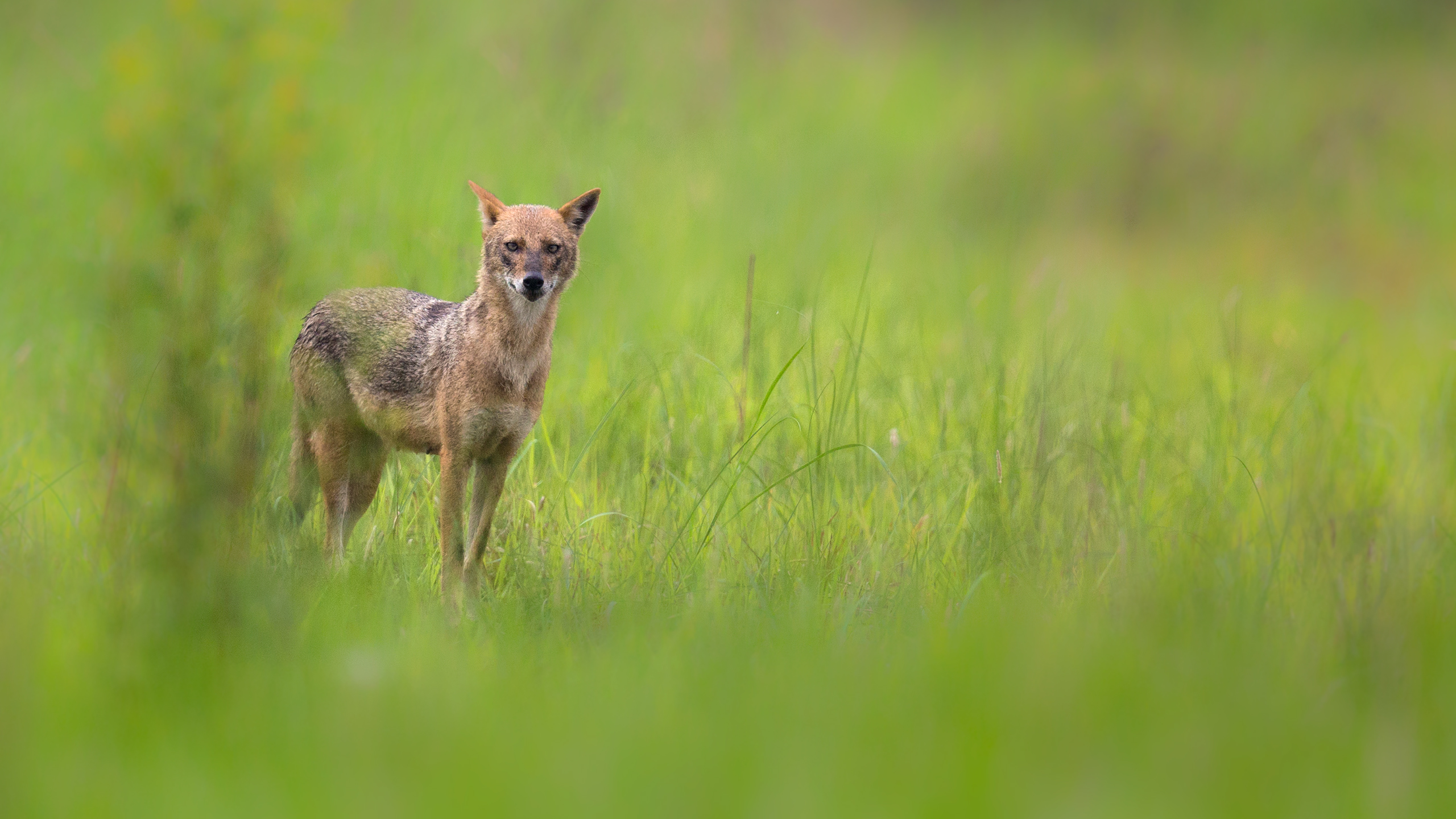 Indian Jackal in West Bengal by Arindam Bhattacharya