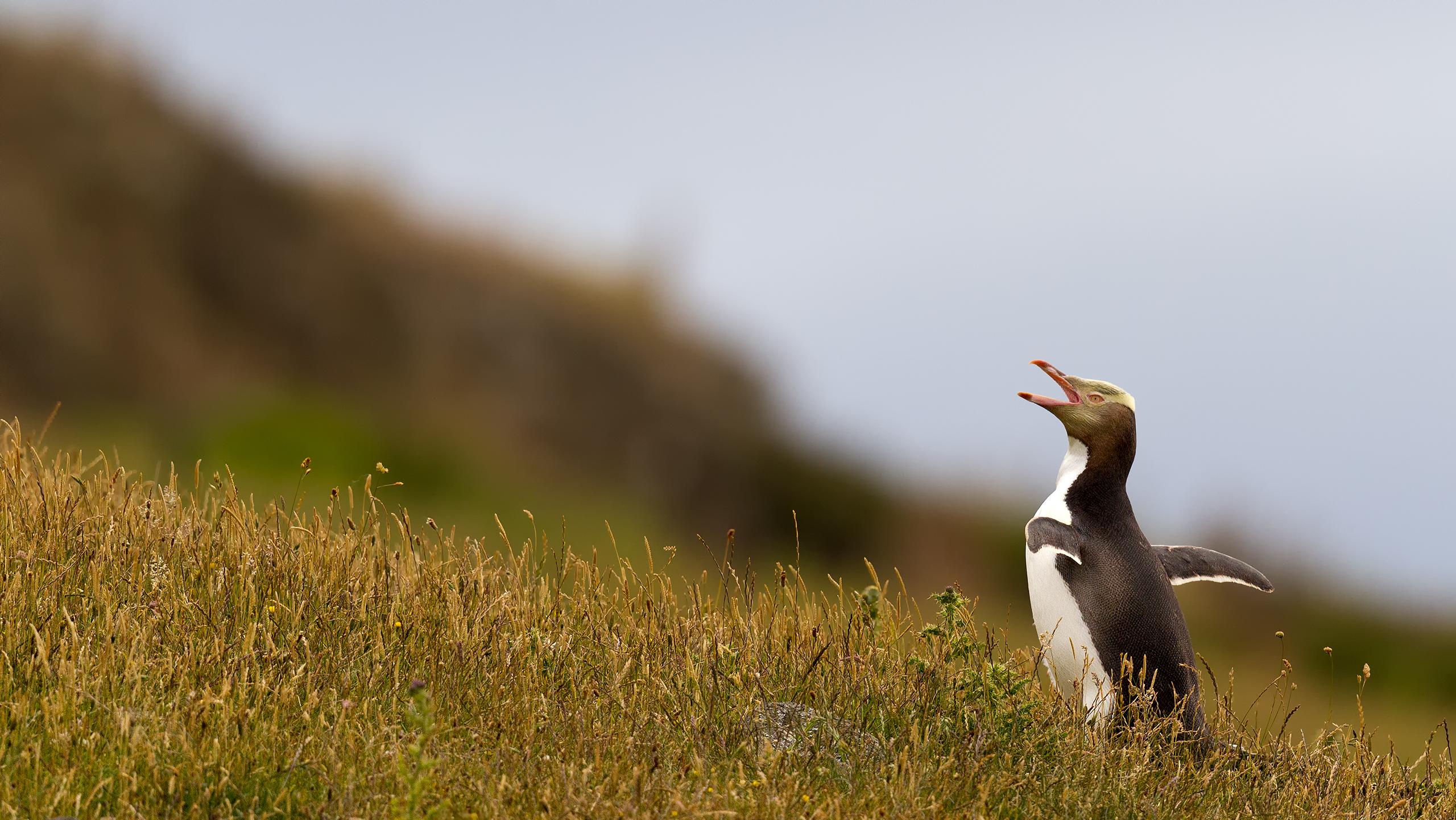 Endangered Yellow Eyed Penguin at New Zealand by Arindam Bhattacharya