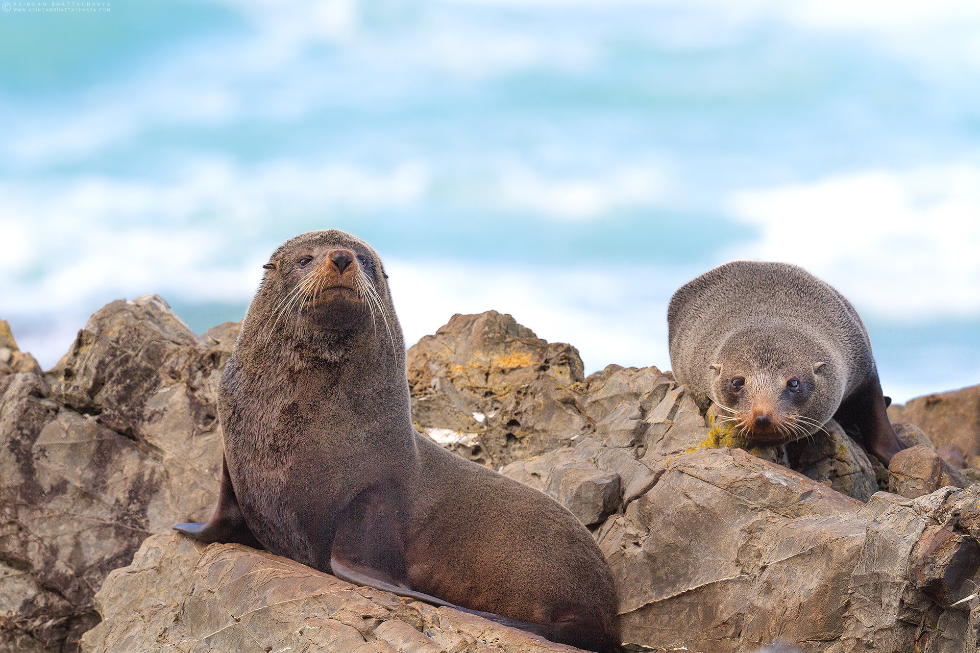 Fur Seal or Kekeno - South Pacific Ocean,New Zealand. They belongs to Otariidae family, distinguished from true seals by external ears and forward rotating hind flippers.