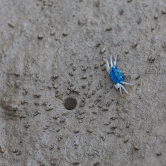 blue fiddler crab in sunderbans national park west bengal india