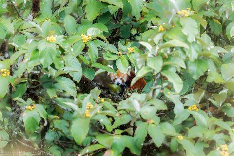 Wild Red Panda India Nepal at Singalila National Park by Arindam Bhattacharya