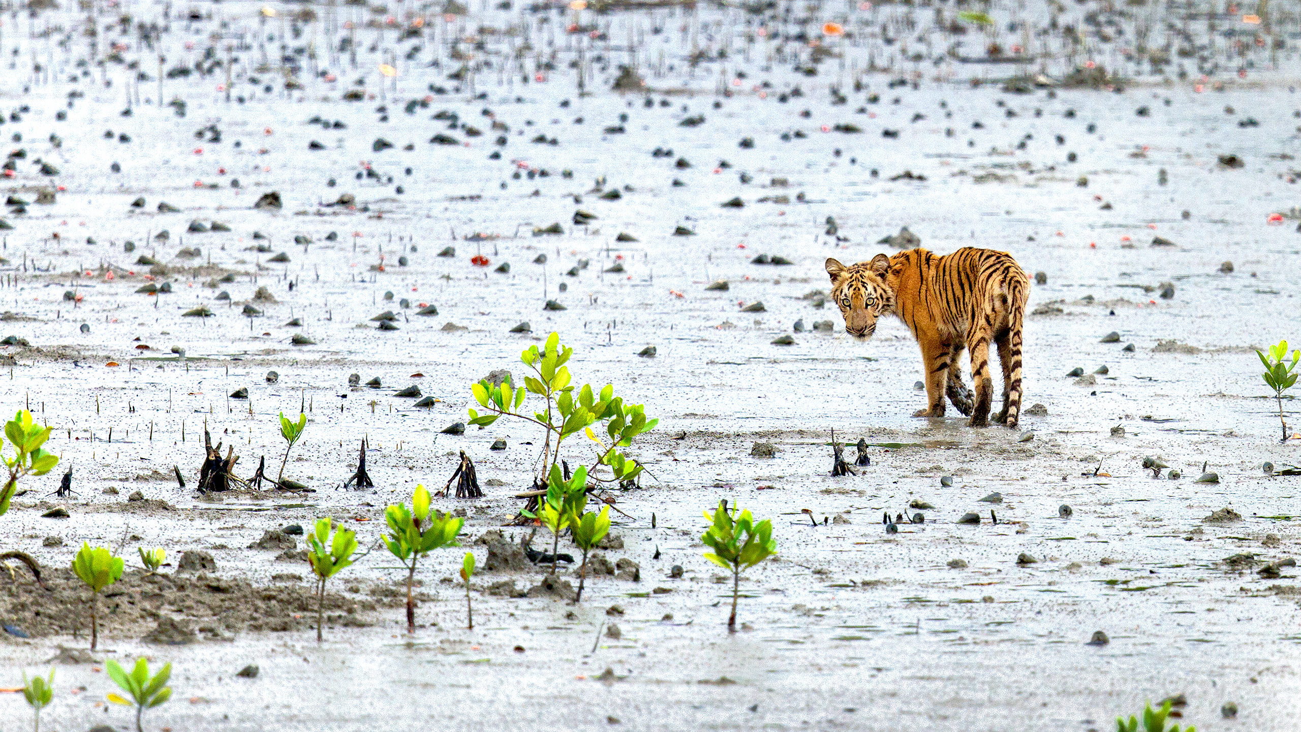 Royal Bengal Tiger in Sunderbans by Arindam Bhattacharya