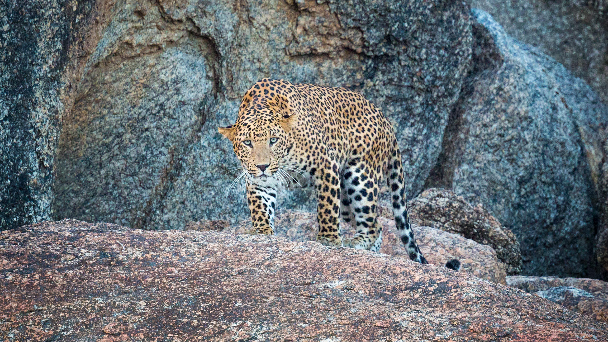 Indian Leopard in Bera Rajasthan by Arindam Bhattacharya