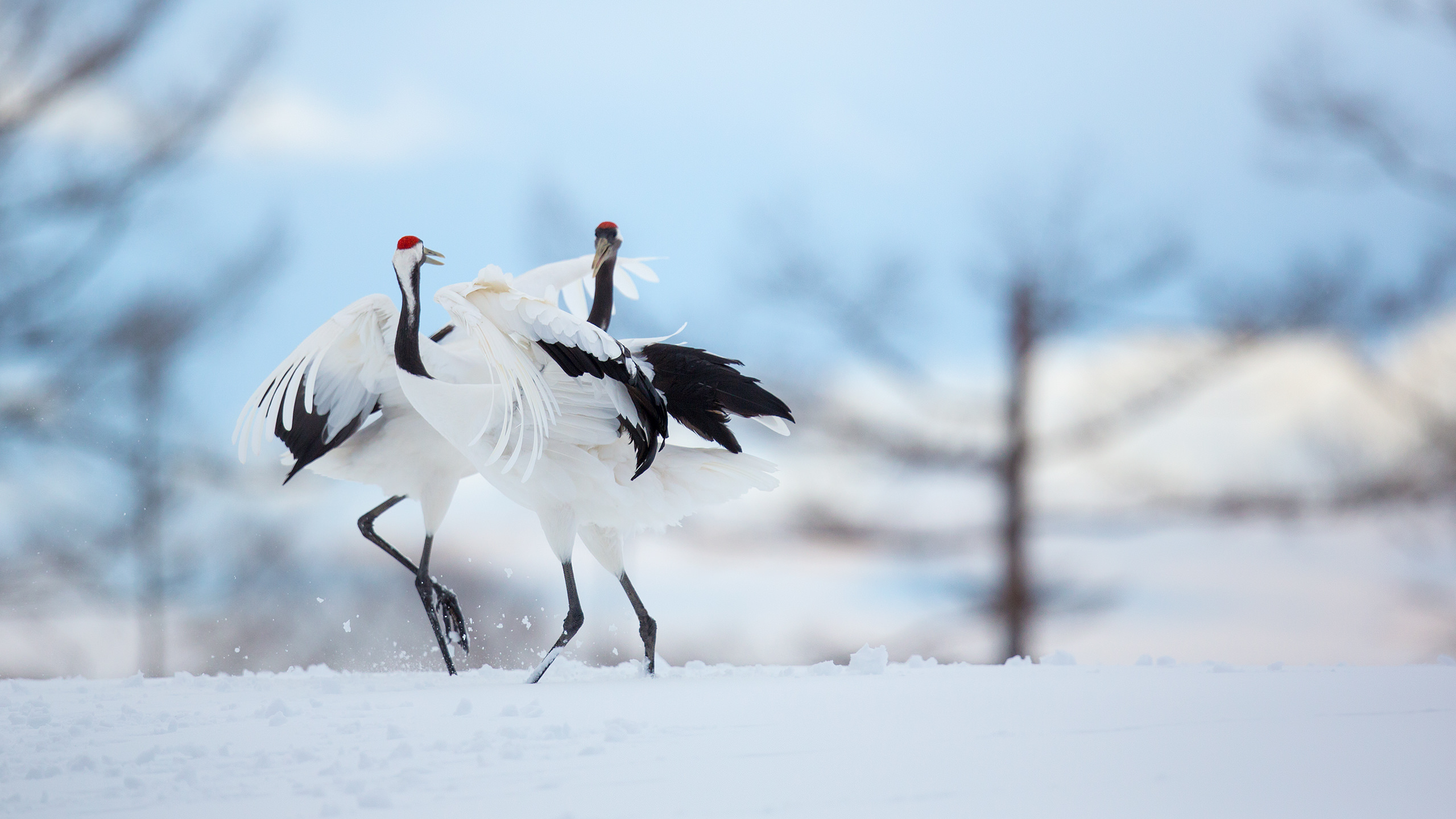 Red Crowned Crane in Japan by Arindam Bhattacharya