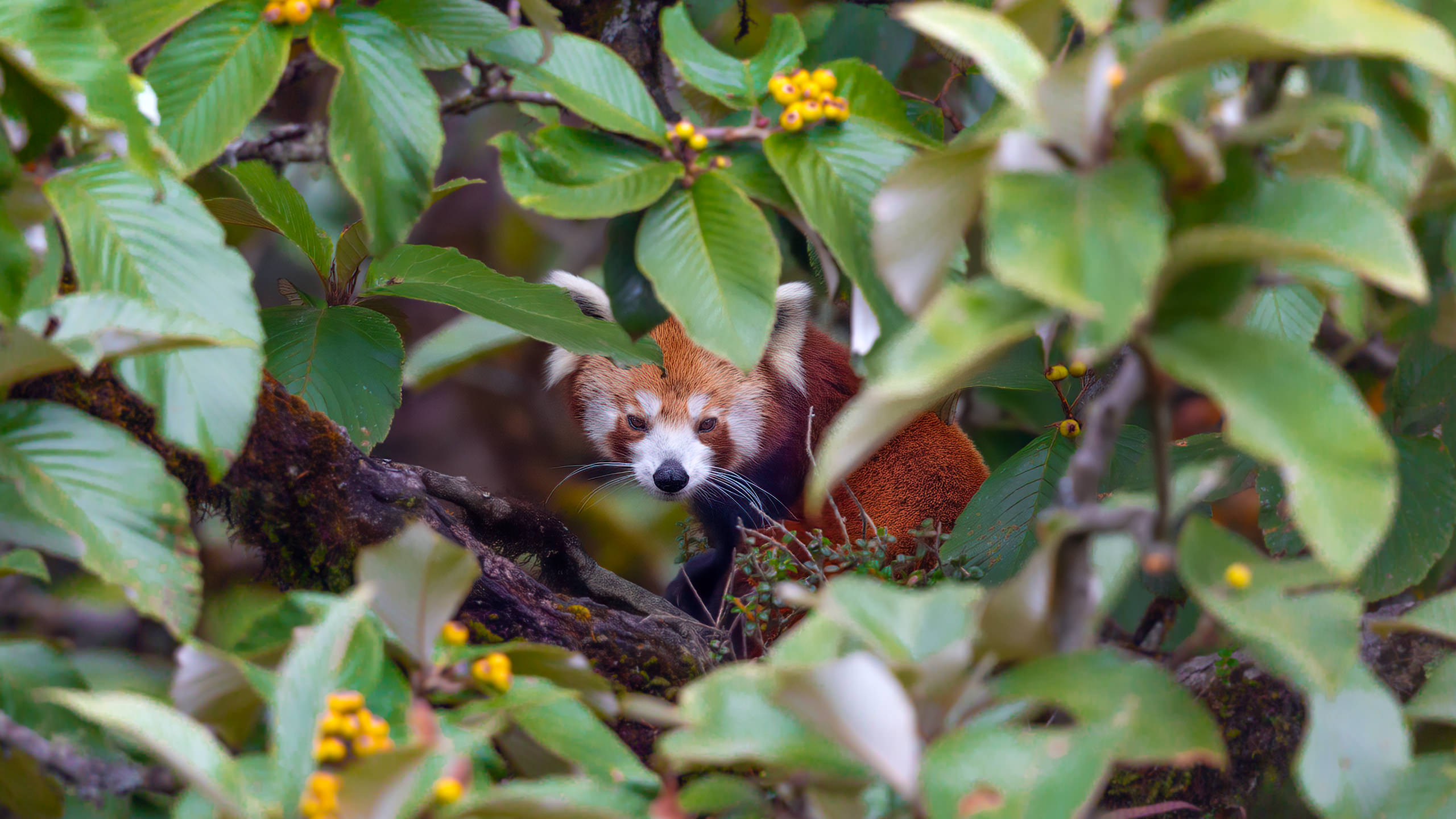 Endangered Red Panda Nepal Himalaya Arindam Bhattacharya