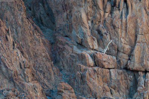 Snow Leopard (Panthera uncia) in Ladakh Himalaya by Arindam Bhattacharya