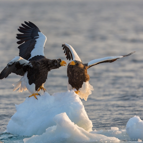 Steller's Sea Eagle or Haliaeetus pelagicus in northern Japan. A vulnerable migratory species to Japan during winter.