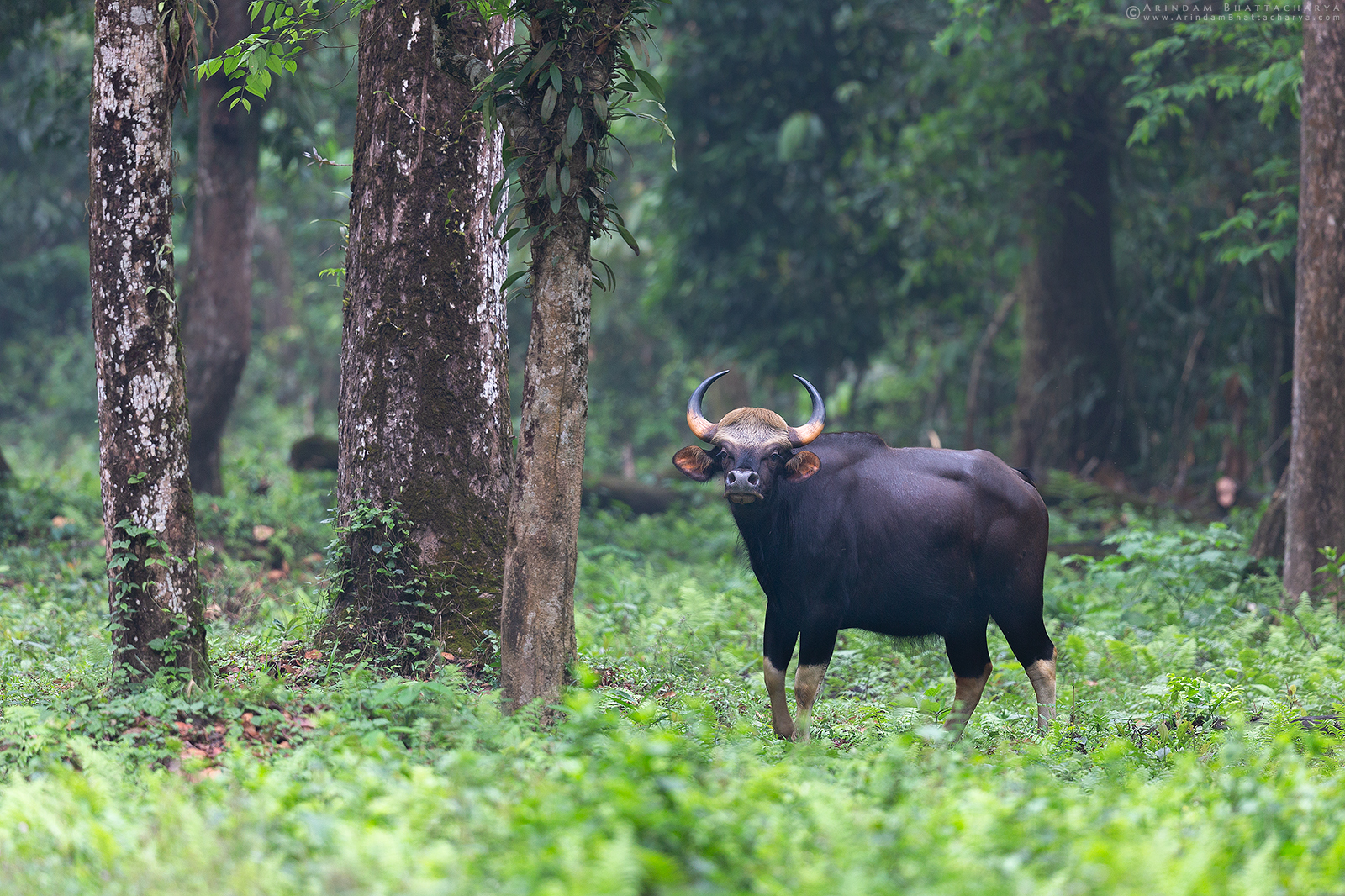Indian Bison or Bos gaurus at Gorumara National Park Dooars West Bengal India Arindam Bhattacharya