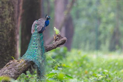 Indian Peafowl or Indian Peacock at Gorumara national park Doors West Bengal India Arindam Bhattacharya